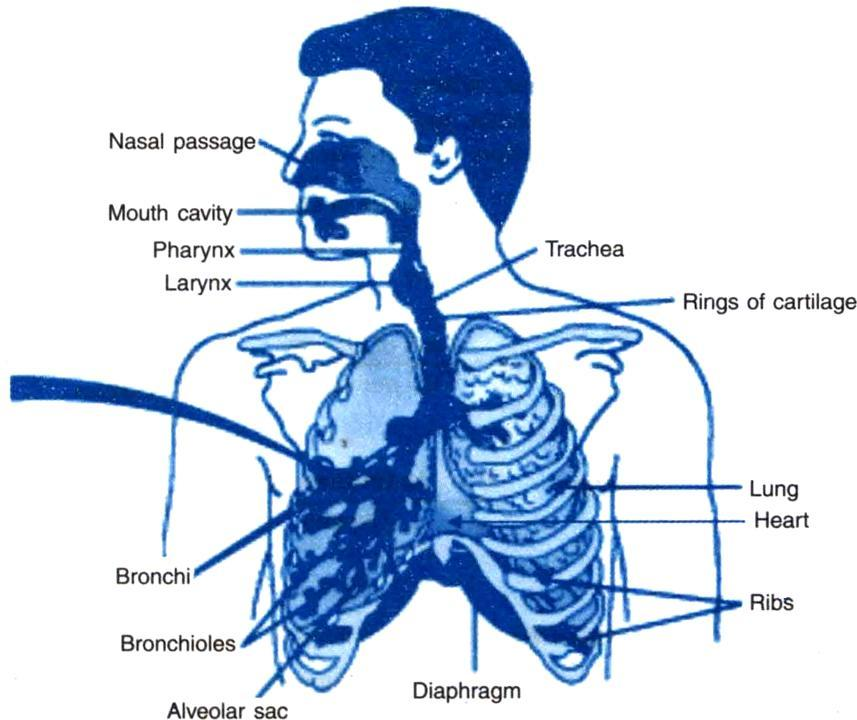 Draw a diagram of respiratory system and label the ...