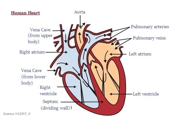 easy steps to draw human heart class 10 ncert write down each step rh brainly in easy heart diagram labeled very easy heart diagram