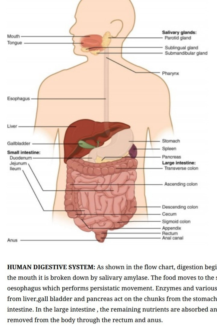 Explain digestive system in humans with the help of a diagram download jpg ccuart Image collections