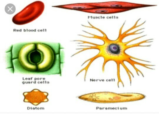 all cells in an organism do not have the same shape justify the