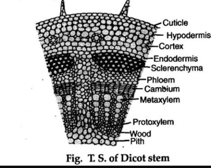 Explain The Internal Structure Of Dicot Stem With The Help Of A