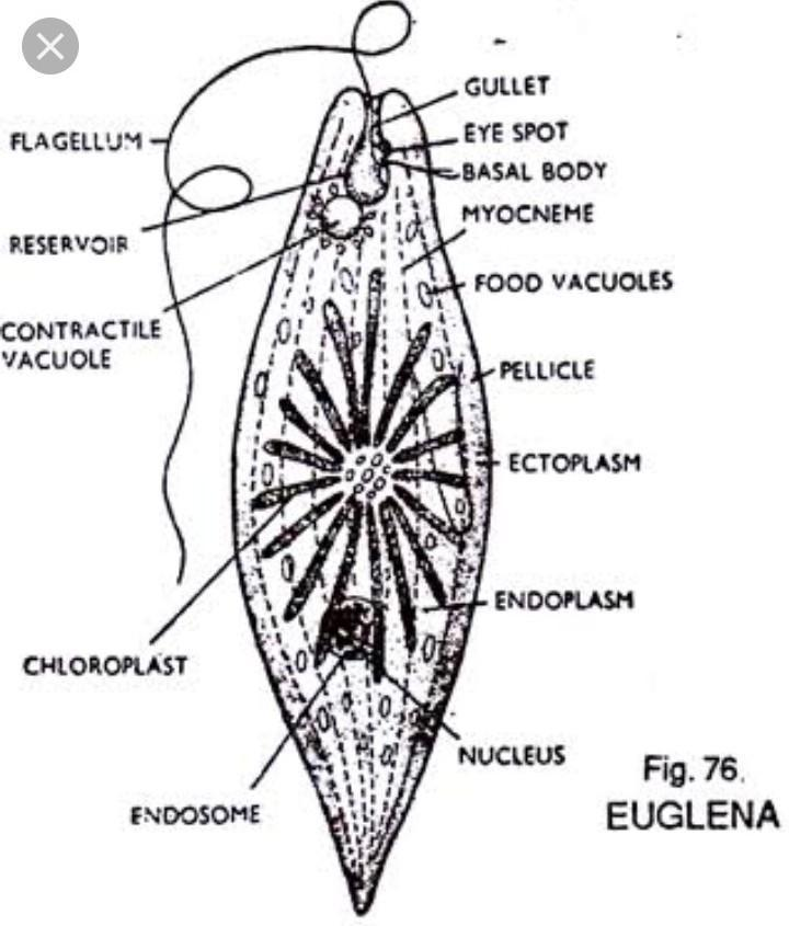 11 Draw A Well Labelled Diagram Of Euglena