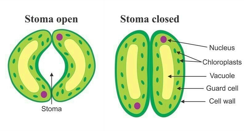 what is stomata ?Draw diagram - Brainly in