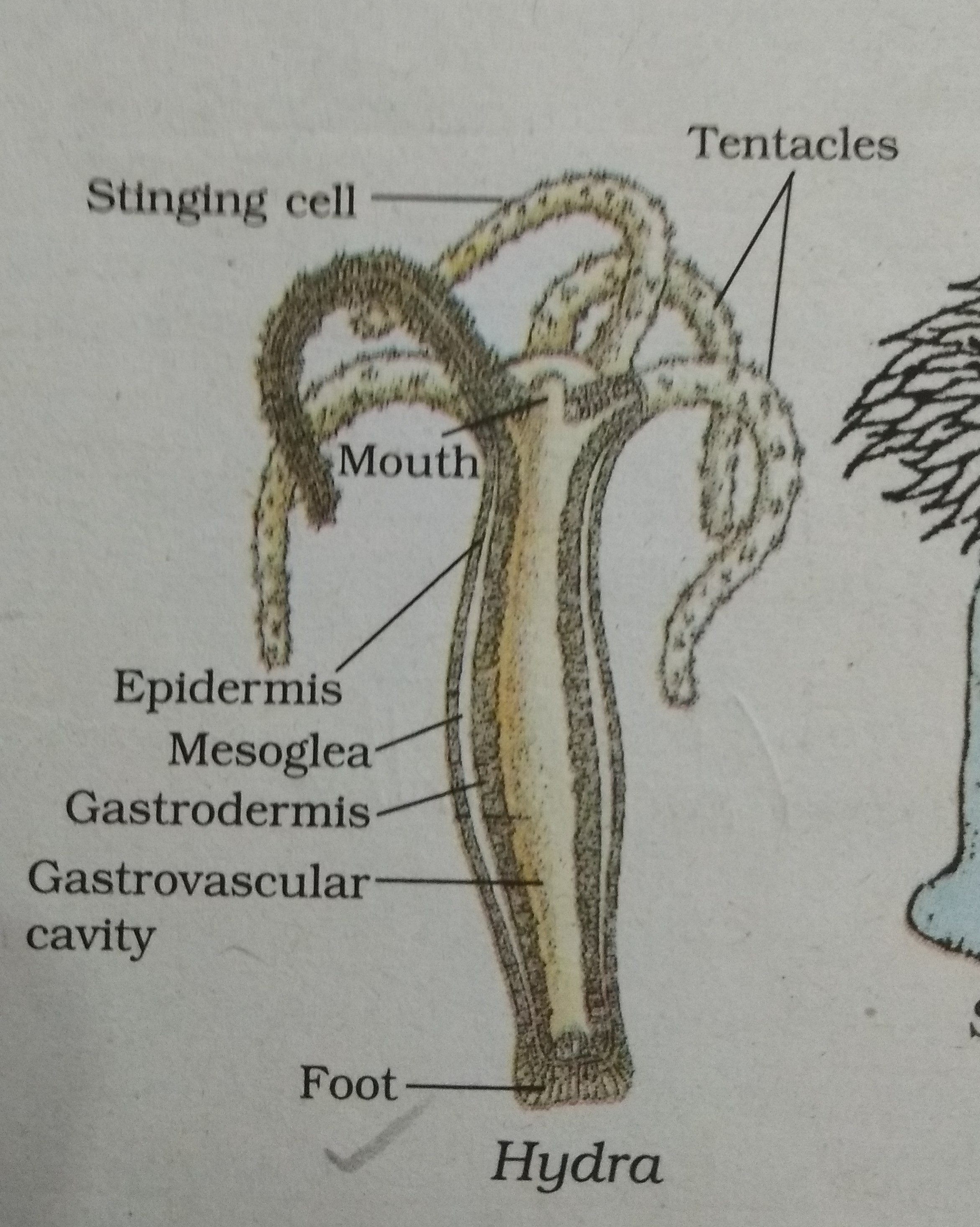 draw the diagram of Hydra and label the following parts:- (i)Mouth ...