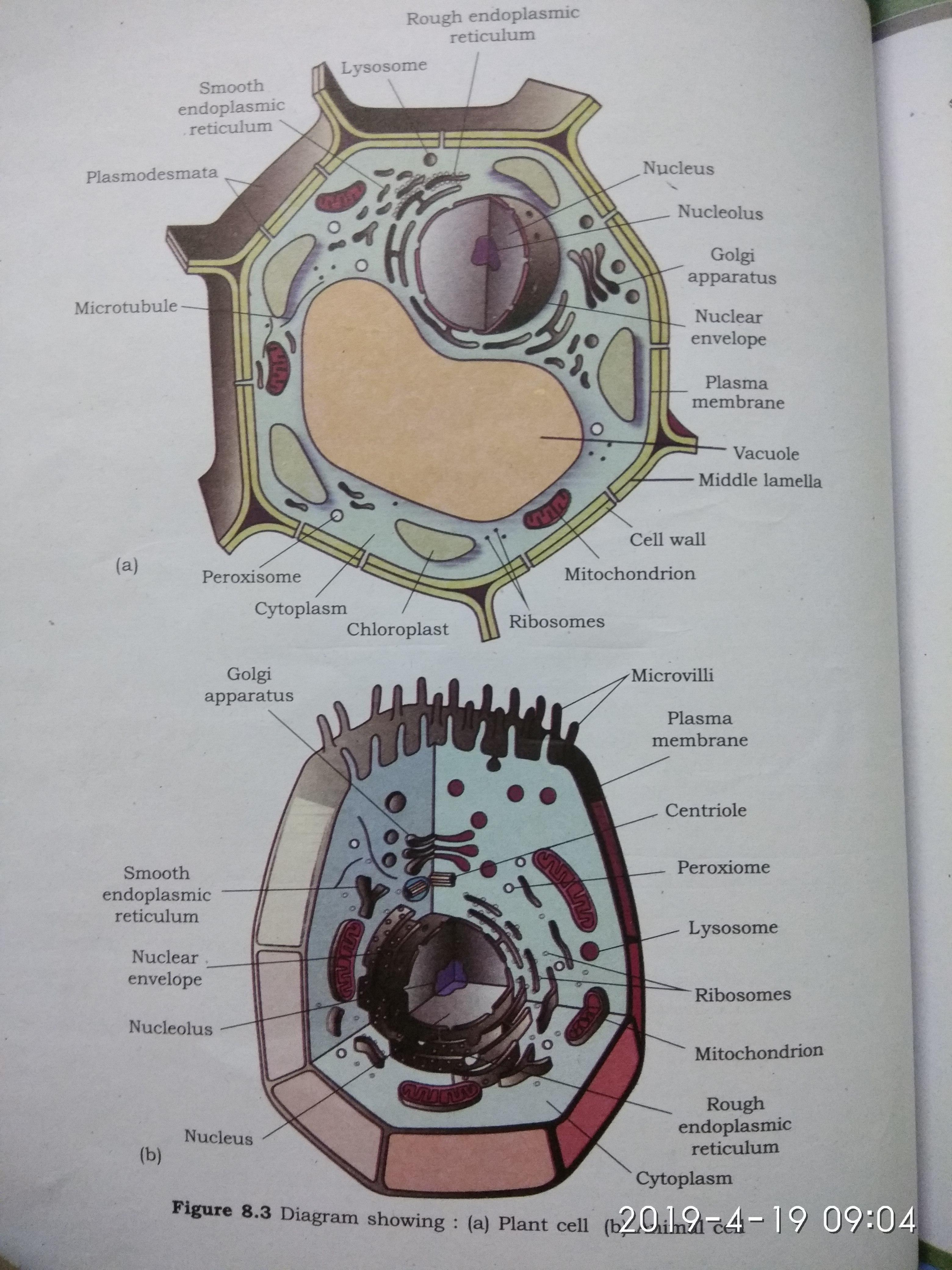 draw a well labelled diagram of plant cell or animal cell ...