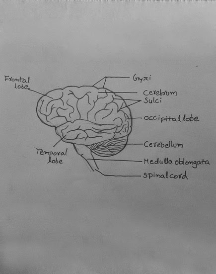 Easy Steps to Draw Human Brain [Class 10 NCERT] Write down