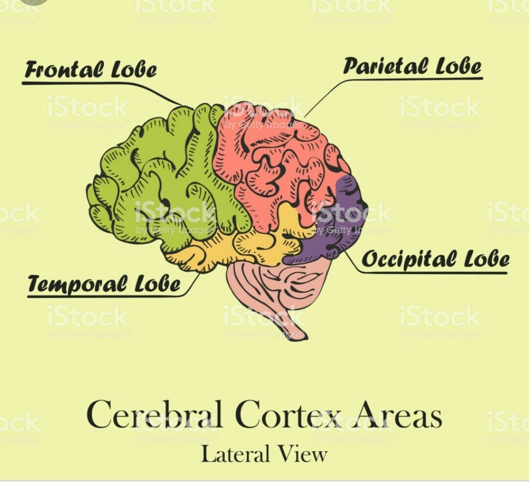 Draw neat labelled diagram of lateral view of human brain ...