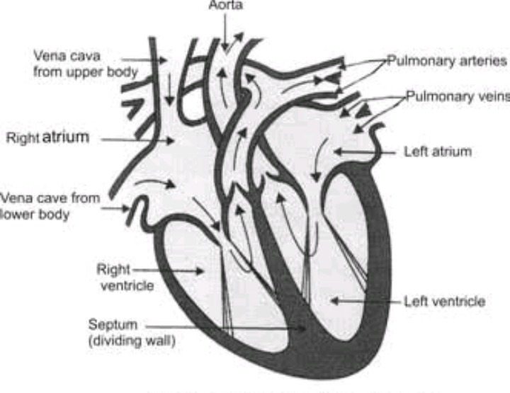 Explain The Function Of Human Heart Qith Diagram For Class 10