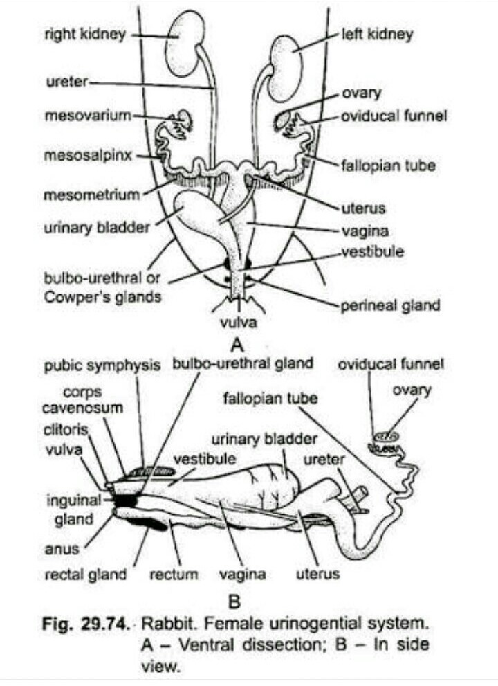 Female Reproductive System Diagram Labeled Side View