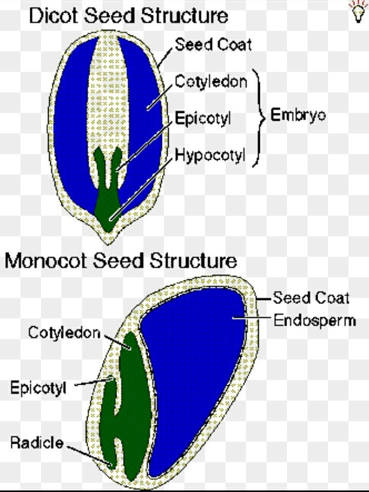 Diagram Of Dicot And Monocot Seed With Labelling