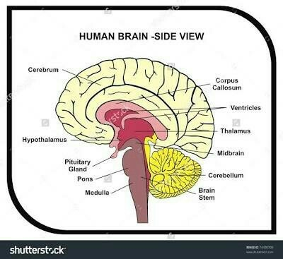 Draw A Neat Diagram Of Human Brain And Label Medulla And Carebellim