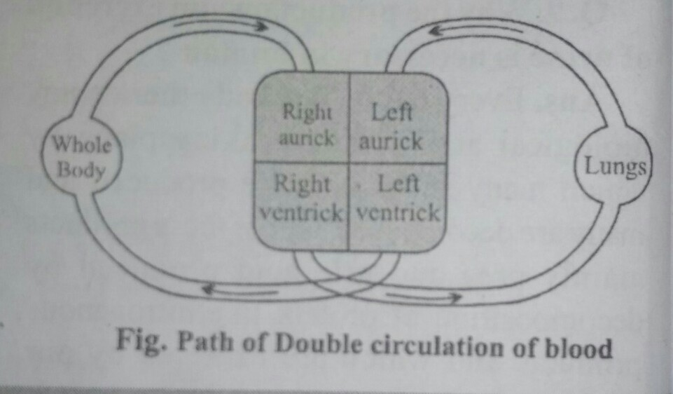 what is a double circulation ? explain with the schematic ...
