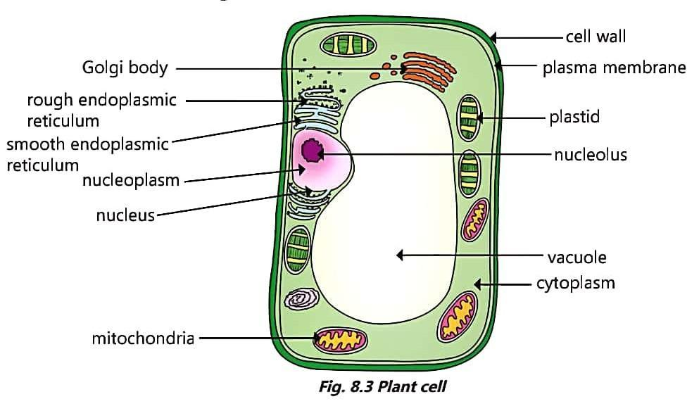 Draw a neat diagram of Plant and Animal cell and label its ...