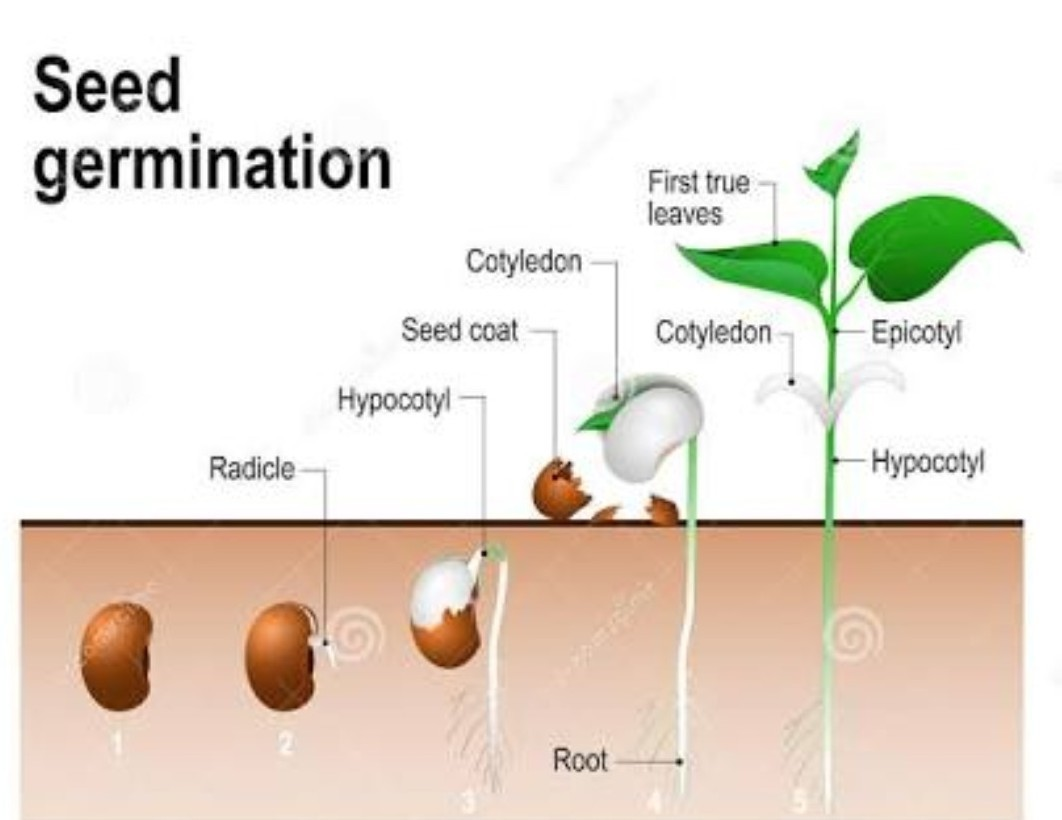 Explain The Structure Of A Seed And The Process Of