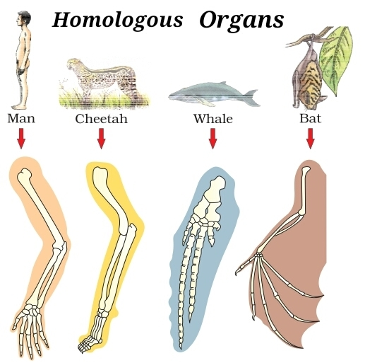 Image result for homologous structures evolution tale of tail