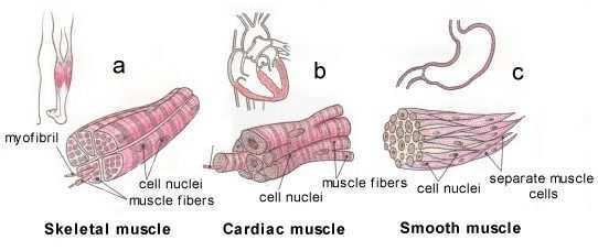 Show the different between the three types of muscle fibers with download jpg ccuart Choice Image