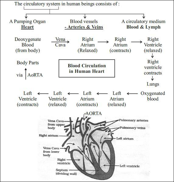 flowchart to explain the process of circulation of blood ...