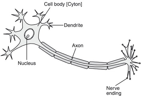 Write A And B In The Given Flow Chart Of Neuron Through Which