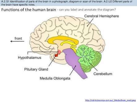 List out the functions of human brain class 10 brainly download jpg ccuart Image collections