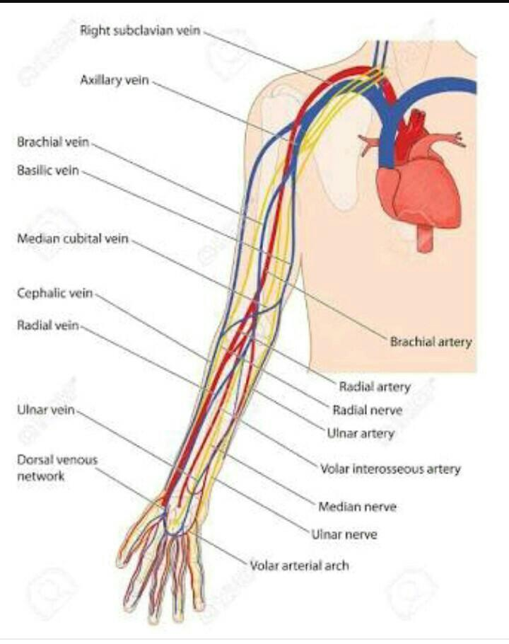 Differance between artery vein and nerve tamil meaning - Brainly in