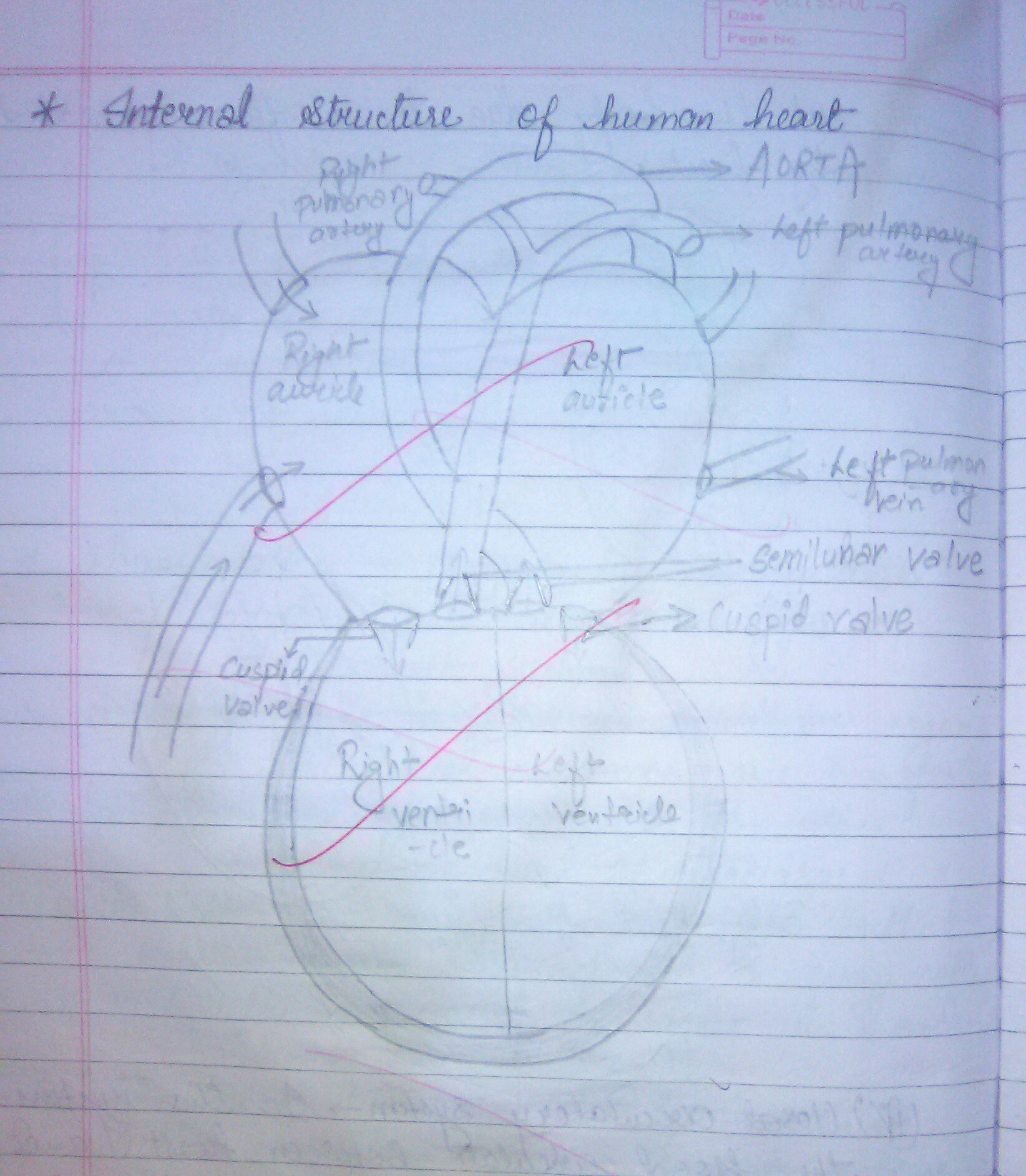 Draw A Well Labelled Diagram Of A Human Heart For Board Exam Purpose