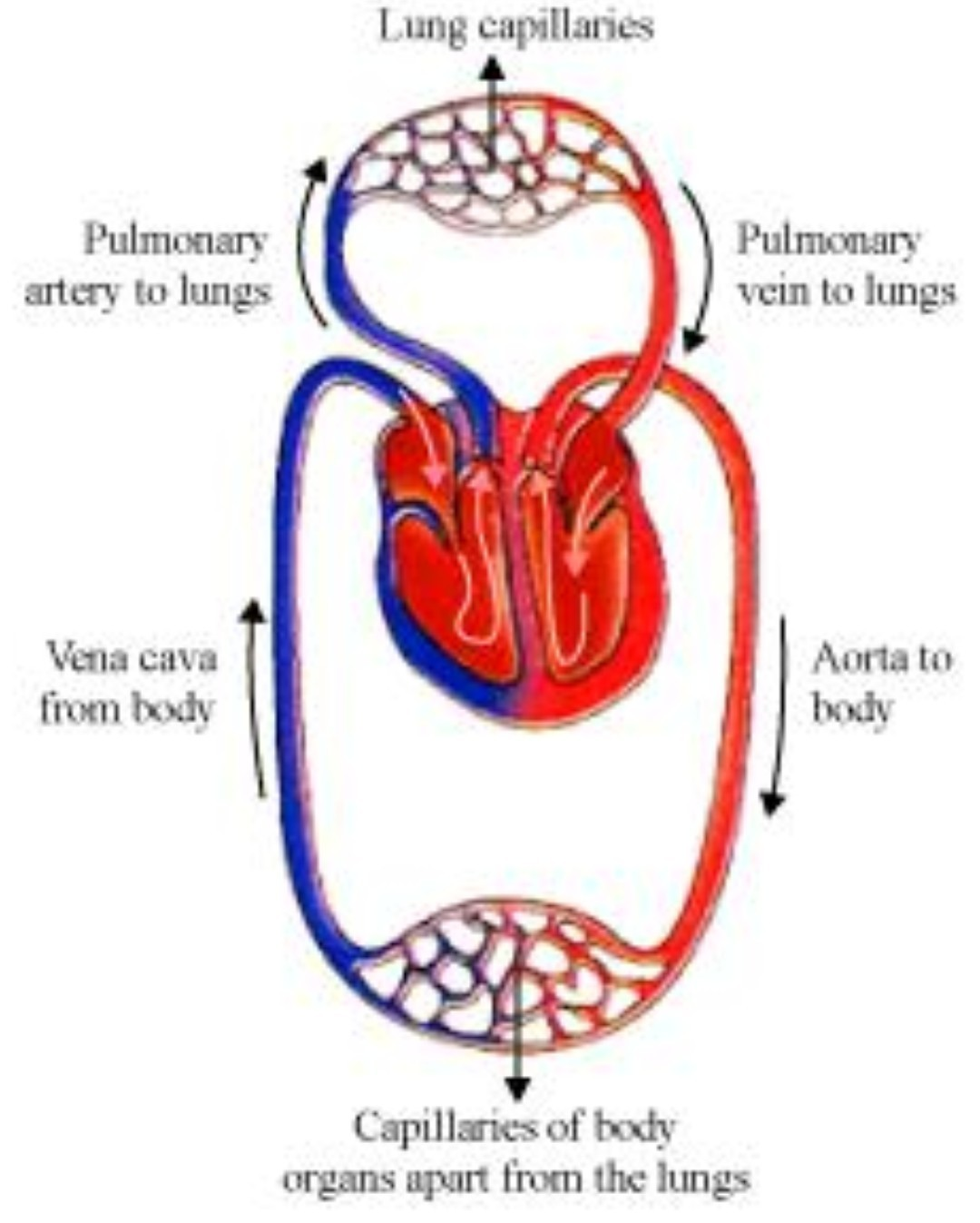 What Is A Double Circulation Explain With The Schematic Diagram Body Download
