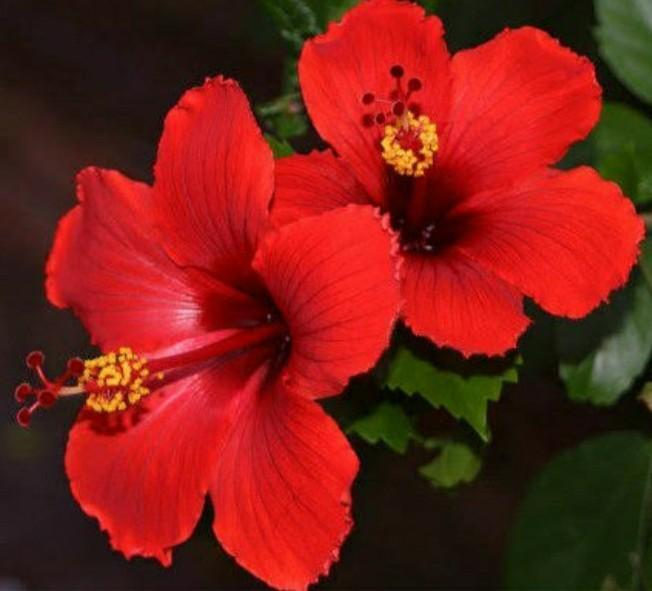 Hibiscus Plant Ke 2 Point Im English Brainlyin