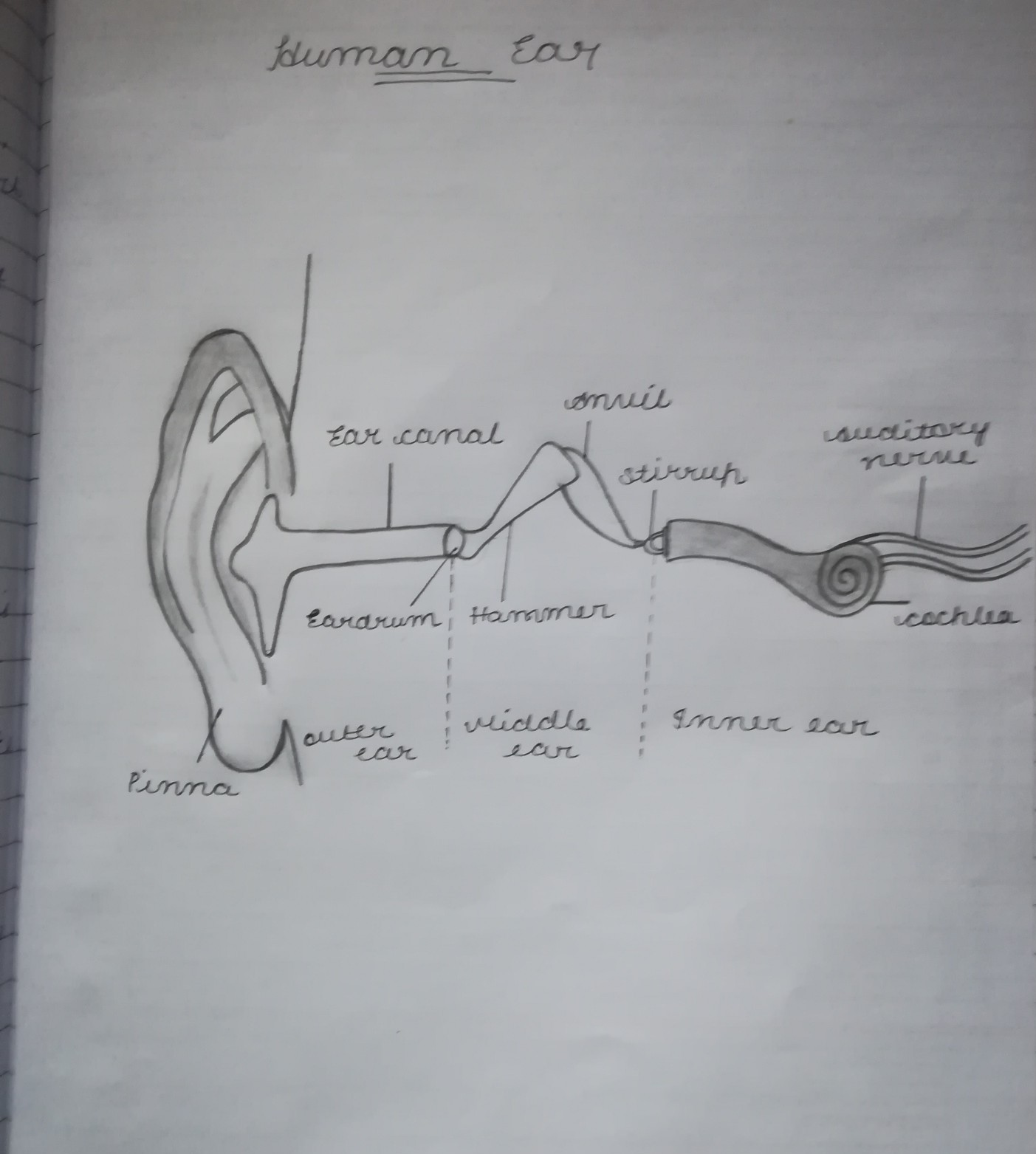 Draw A Diagram Of Human Ear And Explain Its Working Brainly In