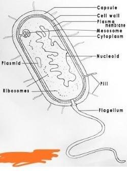 Describe the structure of Bacteria cell with a neat ...