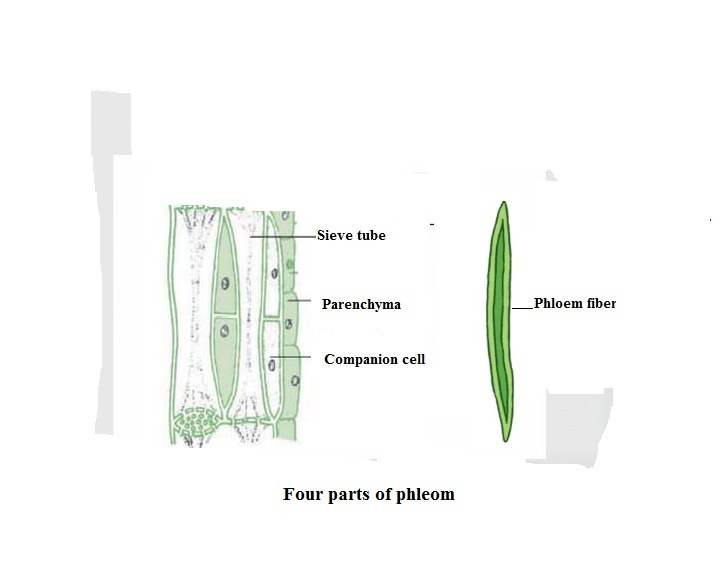 draw a neat diagram of section of phloem and lable its 4 parts Phloem Sugar Movement Diagram