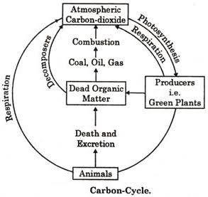 diagrammatically represent the carbon cycle      brainly indiagrammatically represent the carbon cycle