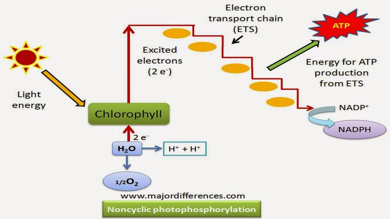 What is Photophosphorylation? DESCRIBE BRIEFLY - Brainly.in