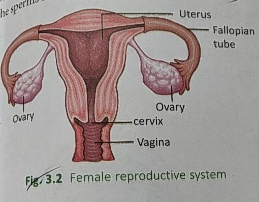 draw a labelled diagram of human female reproductive ...