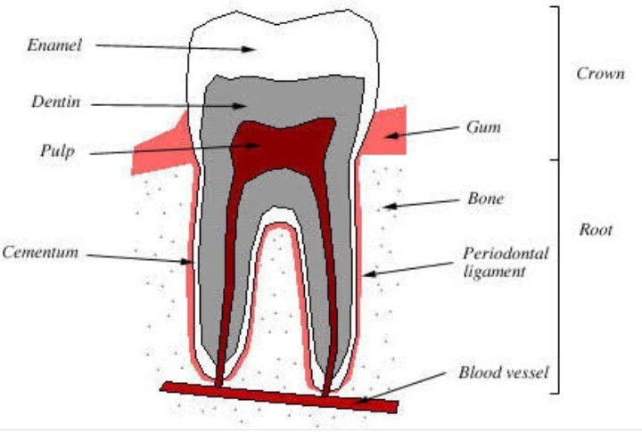 Question Draw V S Lower Molar Of Man And Label Its Different