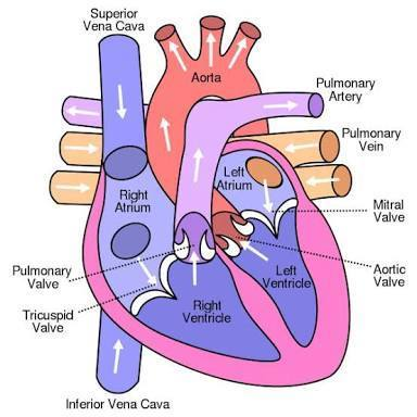 How to draw diagram of human heart in easy way please tell fastly download jpg ccuart Image collections
