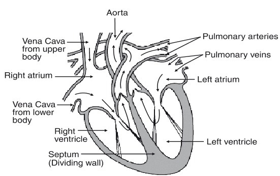 Easy Diagram Of Cross Section Of The Hearturgently Needed