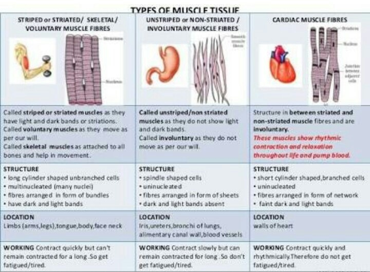 Enchanting muscle tissue types composition anatomy and physiology diagram of three types of muscle tissue brainly ccuart Choice Image