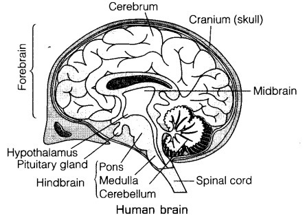 Draw A Diagram Of Human Brain Label On It Cerebrum And Cerebellum
