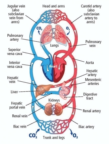 human circulatory system diagram human circulatory system brainly in  human circulatory system brainly in