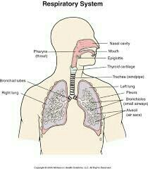 Please draw a easy diagram of human respiratory system brainly its a pic of respiratory system ccuart