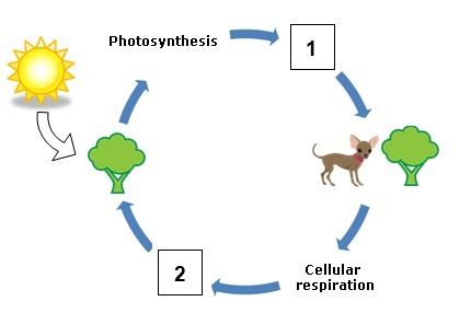In the respiration photosynthesis cycle shown above what are the download png ccuart Image collections