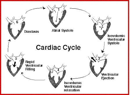 Pls Provide A Flow Chart For Cardiac Cycle Brainly