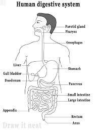 Draw neat and well labelled diagram of human digestive system neat and well labelled diagram of human digestive system publicscrutiny Image collections