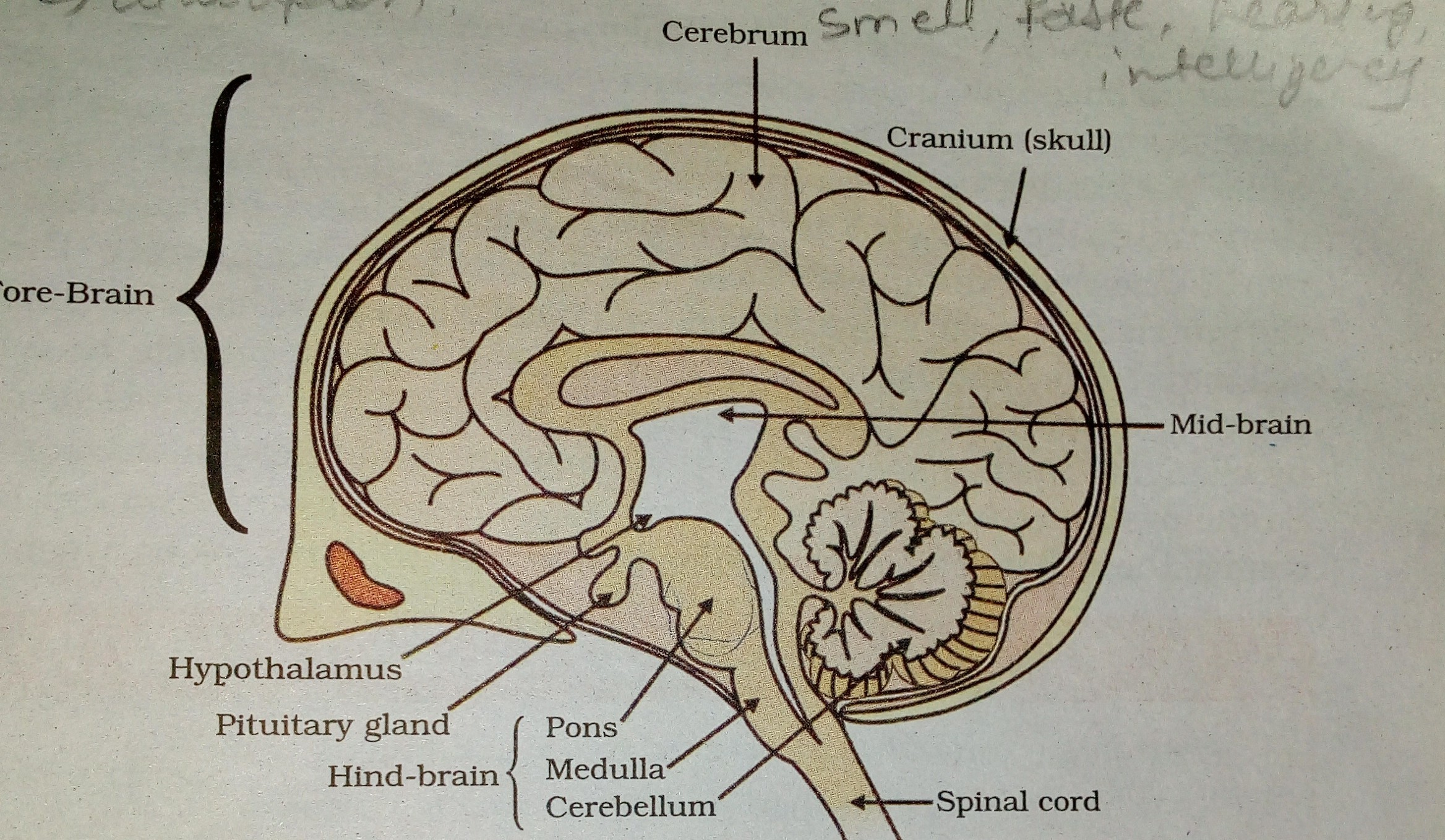 a) i) Draw a neat diagram of human brain and ii) Label Medulla and ...
