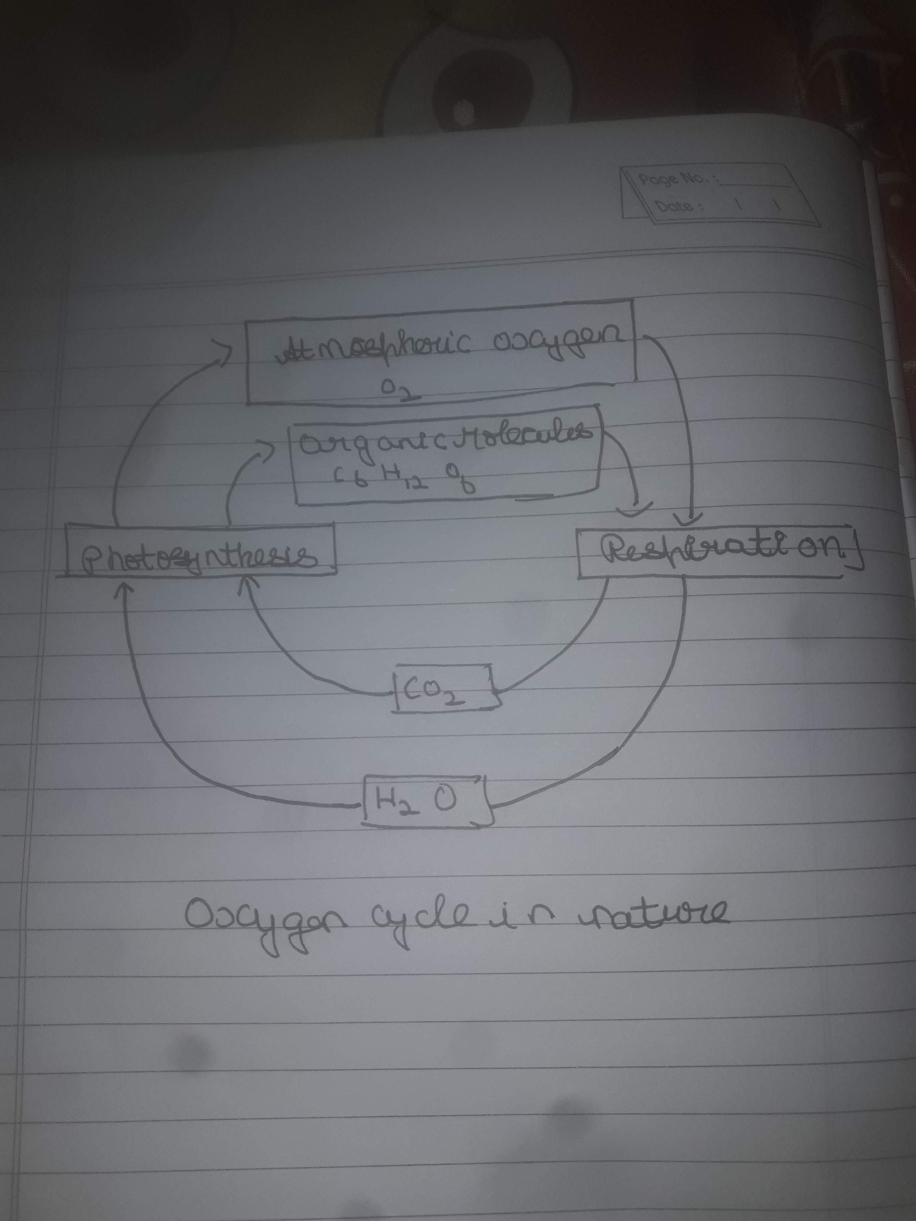 draw a neat labeled diagram of oxygen cycle in nature - brainly.in