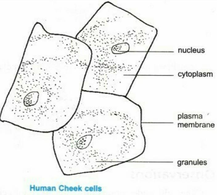 CHEEK CELL LABELED -cheek-cell-labeled.napaliprivatetours.com