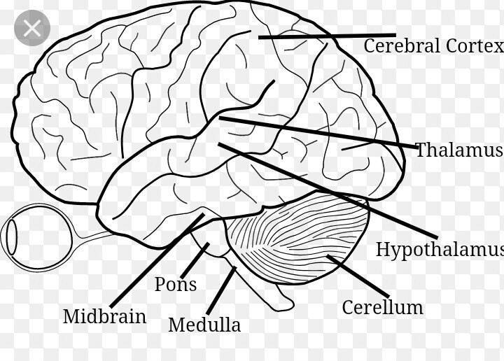 Easy Steps To Draw Human Brain Class 10 Ncert Write Down Each Step