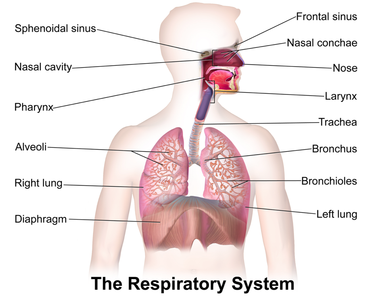 A draw the diagram of human respiratory system and labels the download png ccuart Images