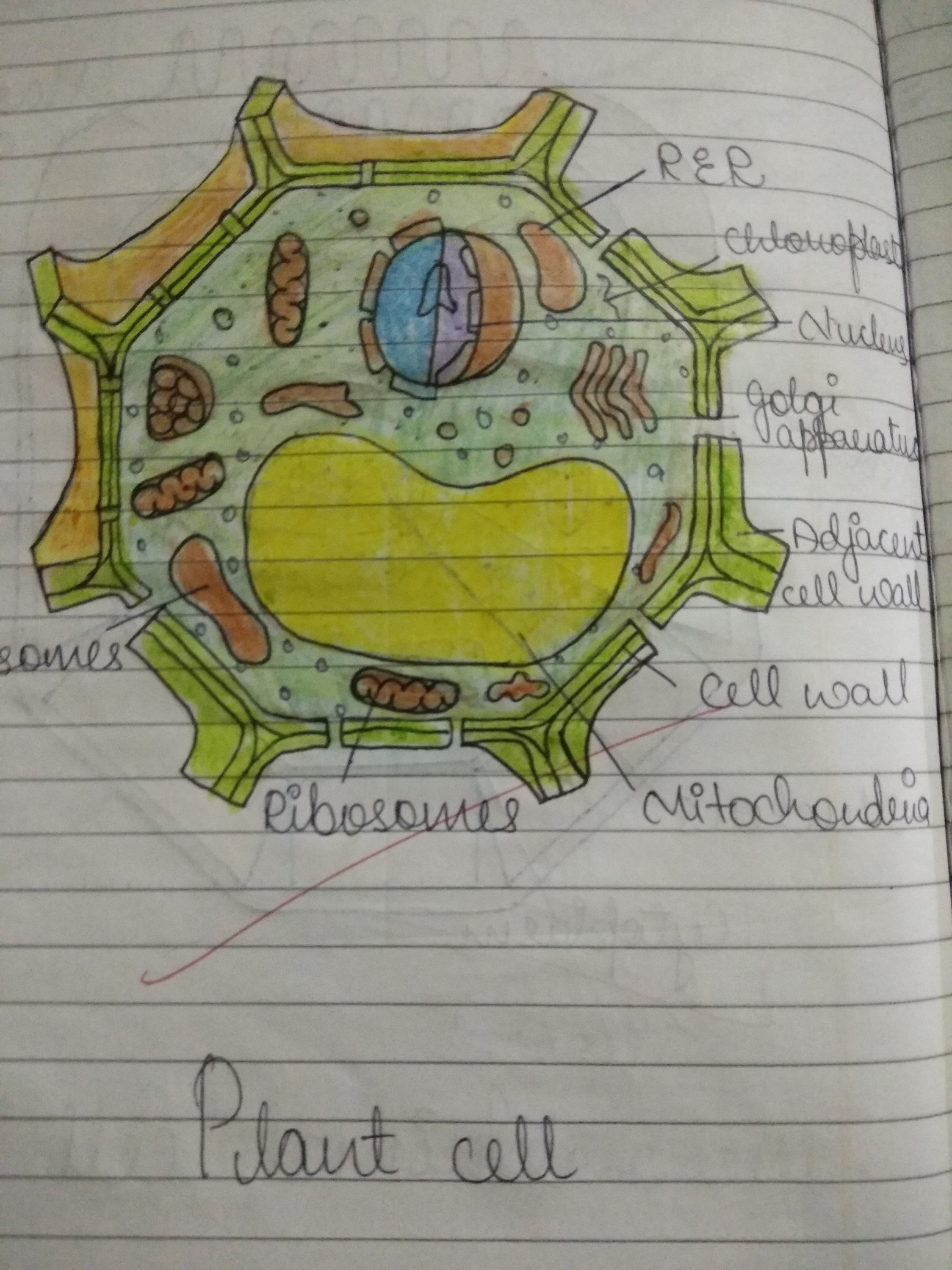 draw the diagram of plant cell and animal cell - Brainly.in