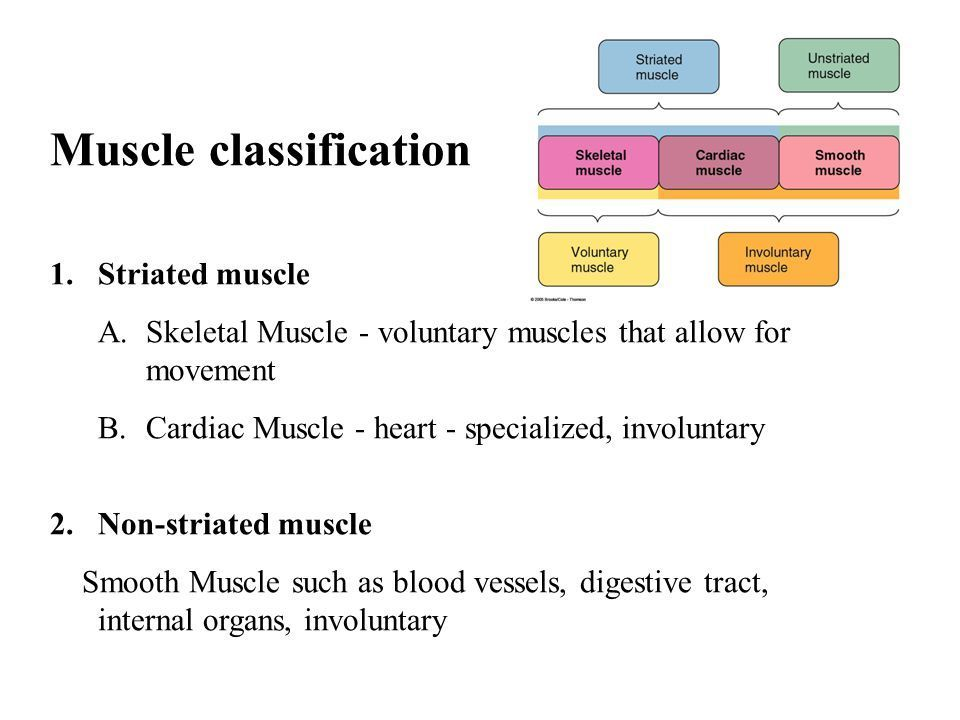 Muscles Classification Structure And Function Brainly